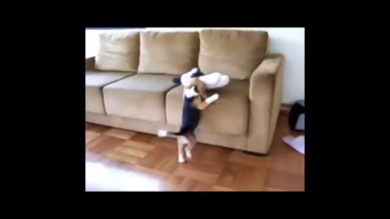 Нарезка из смешных собак породы бигль - krohotun.com