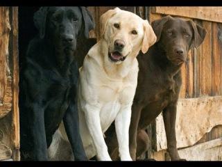 Лабрадор ретривер, все породы собак, 101 dogs. Введение в собаковедение.