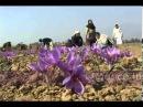 Как выращивают Шафран.mp4