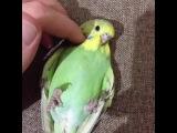 #budgie #budgerigar #Green #yellow #myson #BABYBIRD #muhabbetkusu b