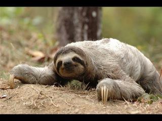 Ленивец - Sloth (Энциклопедия животных)