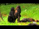 обезьяны трахаются