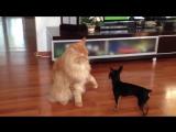 Большой кот и маленькая собачка