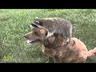 Игры животные - один енот и... собаки