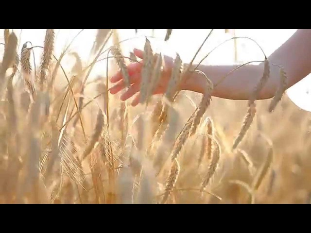 Nature Footage - Wheat Ears With Child Hand