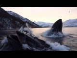 Norwegian fishermen have close encounter with hunting humpback whales