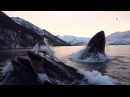 Norwegian fishermen have close encounter with hunting humpback whales English subtitles