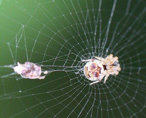 паук cyclosa в амазонских джунглях был обнаружен новый вид паука, который умеет создавать свою собственную копию — видимо, чтобы использовать её как приманку.учёные считают, что новый вид пауков