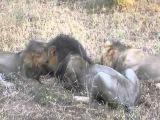3 льва едят живого бородавочника.