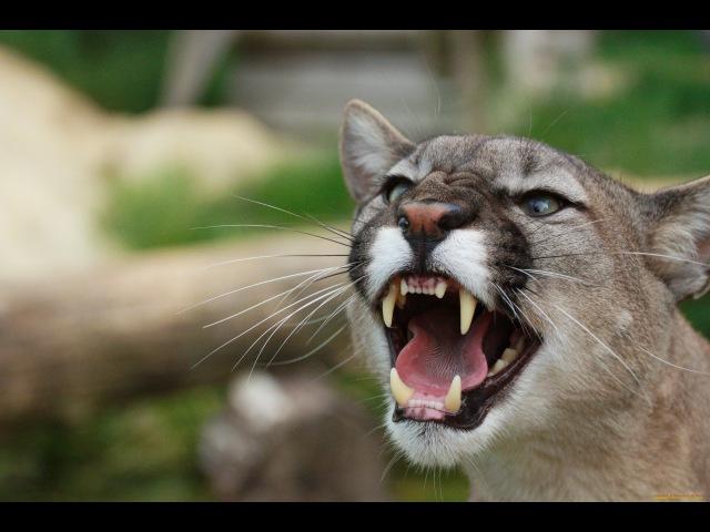 Самые опасные животные — Северная Америка (Документальные фильмы National Geographic HD)