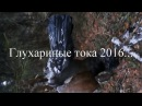 Охота на глухаря на току 2016!chasse grand coq de bruyère,hunting on wood-grouse