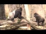 Monkey Mating in zoo Videos ● Funny Animals 2015 _ Спаривание обезьян в зоопарке видео