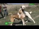 Воины с хвостами: собачьи бои набирают популярность
