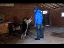 Как помочь собаке избавиться от возбуждения Немецкая овчарка Наоми