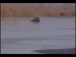 ОГРОМНЫЙ дикий кабан бежит по скольскому льду