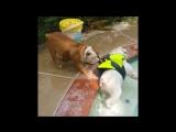 Bulldog Rescues Swimming Bulldog