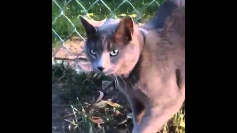Кот клаксон