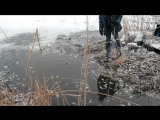 Мор рыбы в Колпино 17.01.2016 г.Река Ижора у д.34 по бульвару Трудящихся и д.60 по Заводскому проспекту .Часть 4