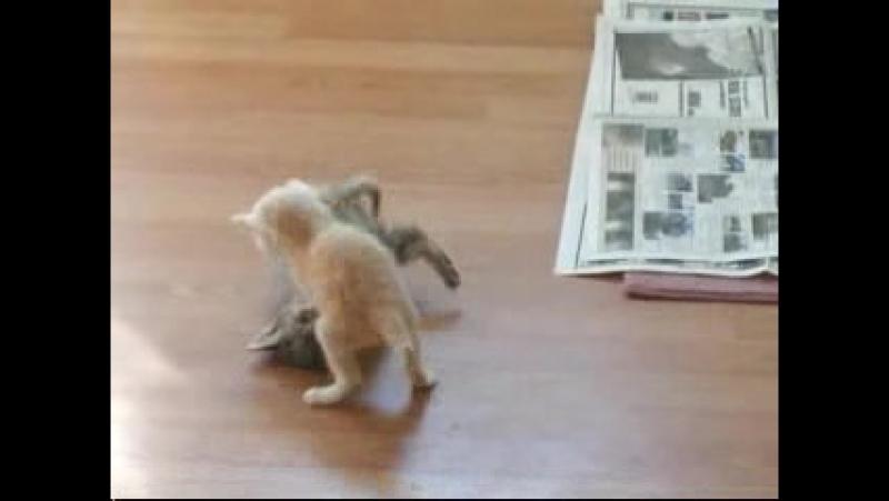 Прикольные кошки 2 котенка мило играют а третий котенок рыгает! Забавно смотреть!! 008