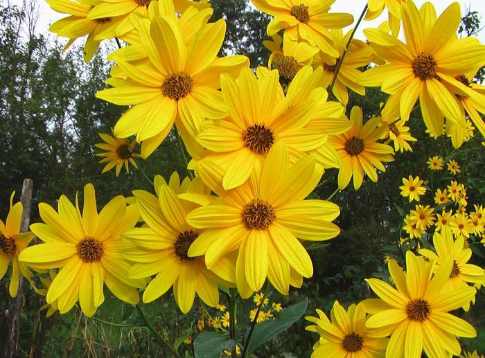 Картинки по запросу цветы топинамбура фото