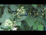Выращивание ежевики - ВСЁ ПРОСТО. Обрезка, уход, размножение ежевики (видео).