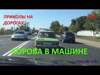 ПРИКОЛЫ НА ДОРОГАХ Корова в машине