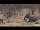 10 Сумасшедших боёв диких животных снятые камерой