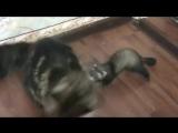 Best Video with ferrets. ТОП Лучшие видео с хорьками. Хорек всех достает