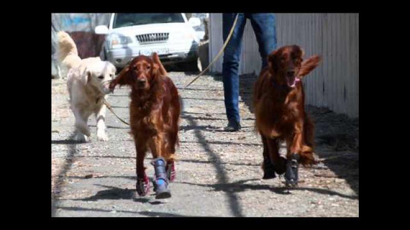 Обувь для собак. Спасительный сапожок - своими руками! Выкройки и комментарии.