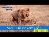 Спаривание львов / Lions mating