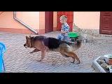 СОБАКА - НЯНЬКА. The dog nanny. Немецкая овчарка Джесси, 1 год. Одесса.