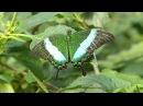 Парусник Палинур Papilio Palinurus