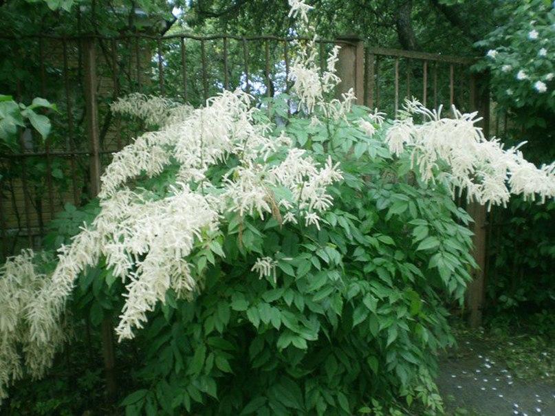 Растения долгожители-волжанка