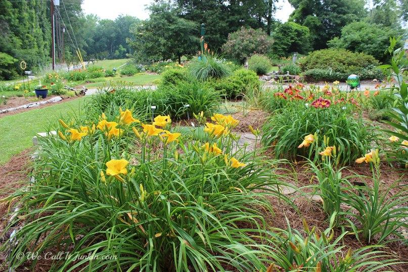Растения долгожители-лилейник