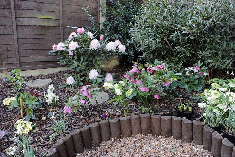 Растения долгожители-морозник цветет 2-ой раз после весенней срезки