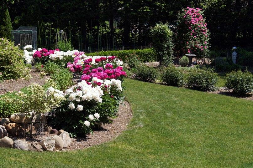Растения долгожители-пион,роза