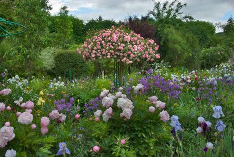 Растения долгожители-пион,ирис,роза