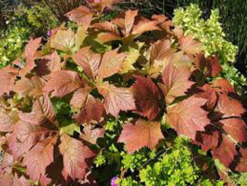 Растения долгожители-роджерсия