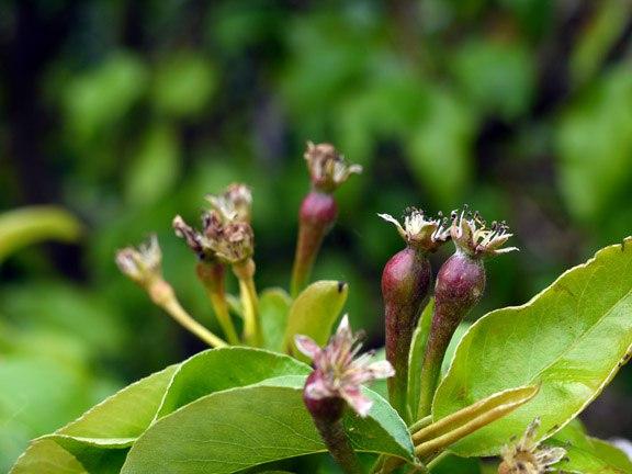 Садовая груша