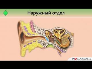 Органы слуха и равновесия