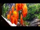 1.400 Liter Diskus Aquascape by Oleg Foht, Fische von Diskus-