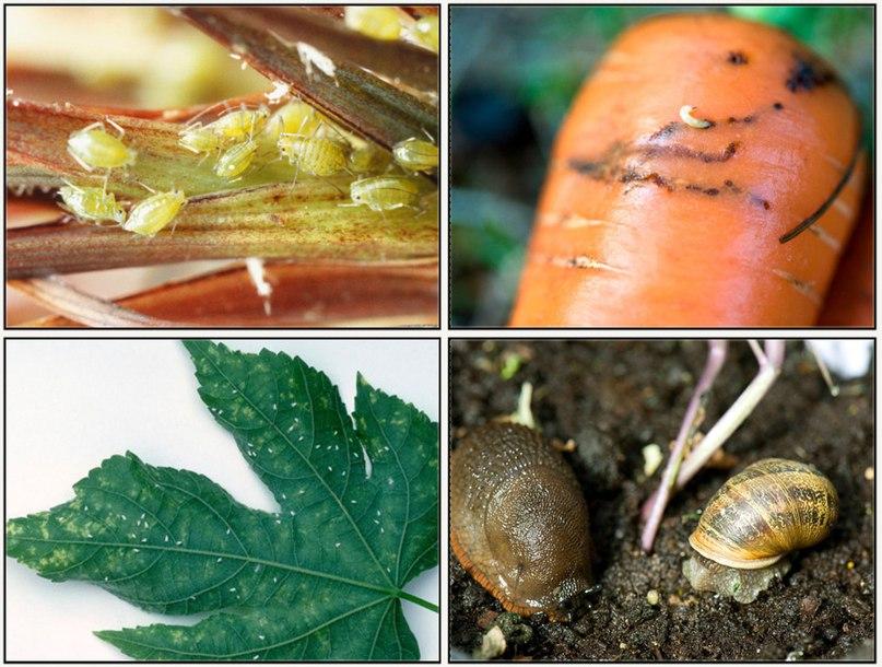 Основные вредители садово-огородных культур
