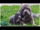 Pops and Pups l American Bully XXL Dog with His Son