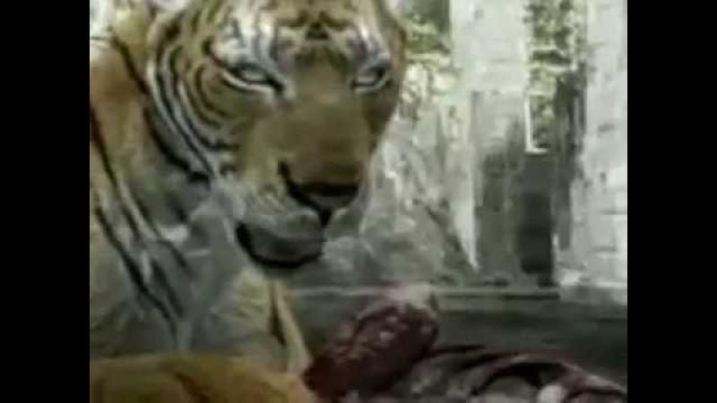 Лев против Тигра.