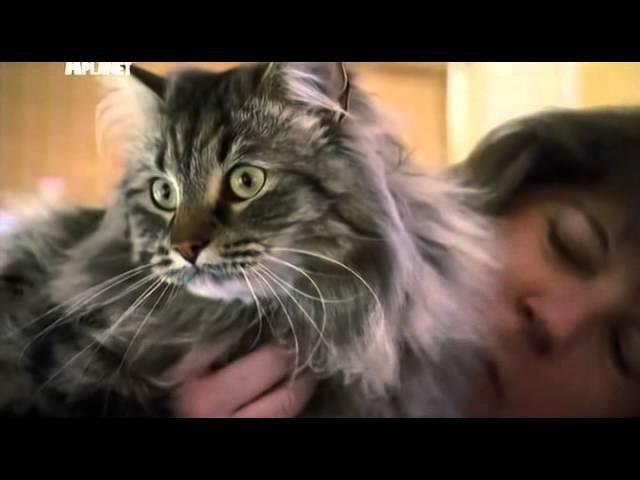 Сибирская кошка. Все о сибирских кошках. Особенности породы и ухода. Характер сибирских кошек .