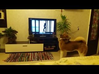 Собака Акита Ину (Акено) поет под песню Imany - Don't be so shy