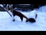Красные панды впервые увидели снег