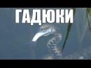 Гадюка Охотится на Рыбу Уникальные Кадры. Snake hunts for fish.