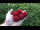 Miao Miao Мяо Мяо, малина розолистна - Rubus rosaefolius