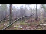 Курцхаар стойка по кабану (Кайман -2016-02-13 подсчет зверя)